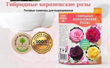 Гибридные Королевские Розы. Отзывы реальные. Купить саженцы для своих цветов на подоконнике круглый год